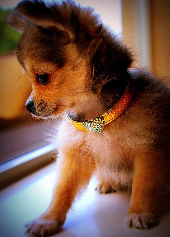 Puppy - Pomeranian Mix