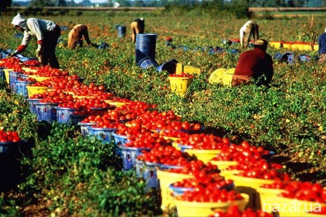 Требуются мужчины и женщины на сбор ягод, фруктов и овощей - Другие сферы занятий Киев на Bazar.ua