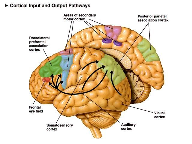 Posterior Parietal Lobe - Supplementary motor area