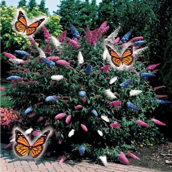 arbre papillons tricolore plantes aux couleurs. Black Bedroom Furniture Sets. Home Design Ideas