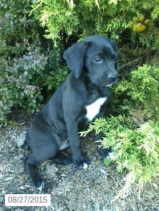 Boxador Puppy for Sale in Ohio