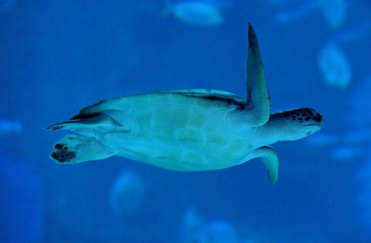 La sangre de las tortugas de la Gran Barrera de Coral contiene herbicidas y fármacos