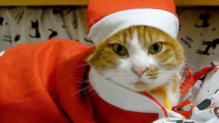 驚いたけど、寛ぐサンタ猫♪〜こたつ布団の魅力は最強!-The cat which relaxes after having been surpr...