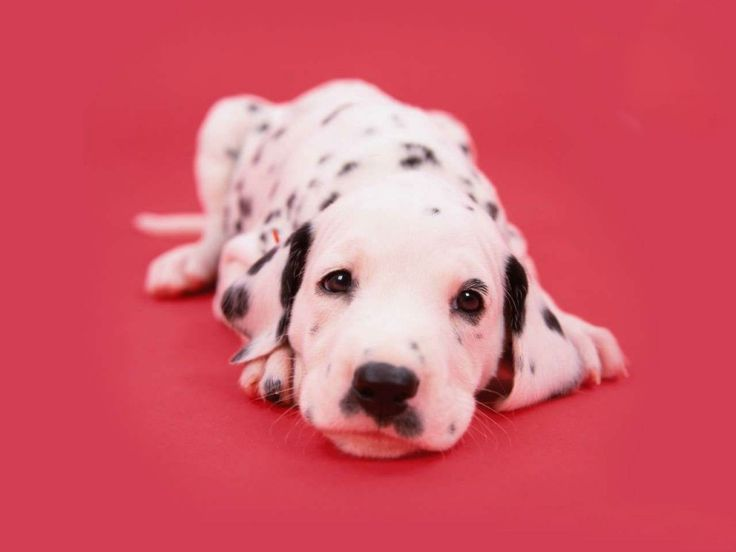 Los Dalmata, mi perro favorito, descripcion y fotos