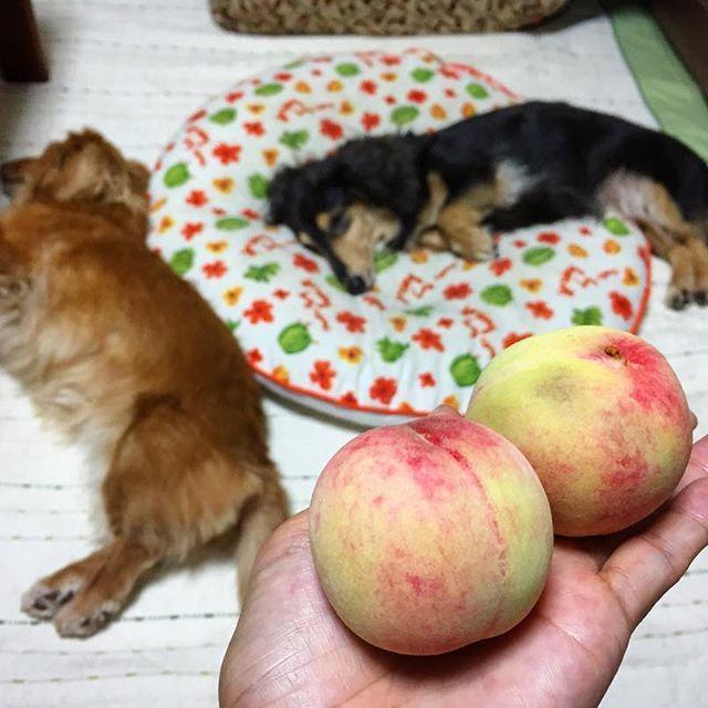 *おじいちゃんちの桃🍑* スーパーに並んでる桃とは 比べ物にならないくらい 小さくて 虫喰いもあって🐛 硬く青タン付きの桃🤔 #おじいちゃんちの#桃#🍑 だけどこれね、 もう少し柔らかくなったら 実は最高に甘くて美味しいねん💕😊 #愛犬#ミニチュアダックス#親娘#眠り姫 結果はいつも最高さ⭐︎