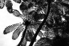 Punga Tree Fern Canopy, New Zealand stock photo