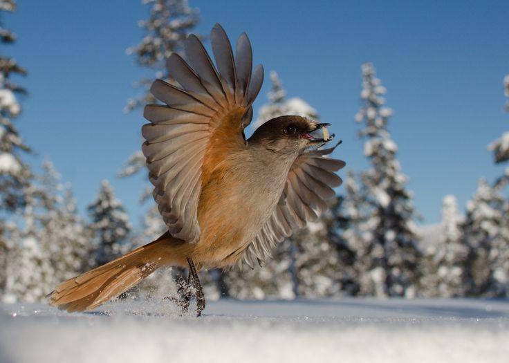 Siberian Jay by Edwin Sahlin on 500px