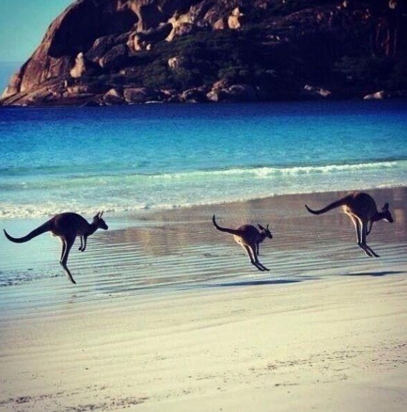 Kangaroos on an Australian beach