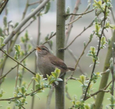Wren: small bird but big voice | Nature Notes from Dorset