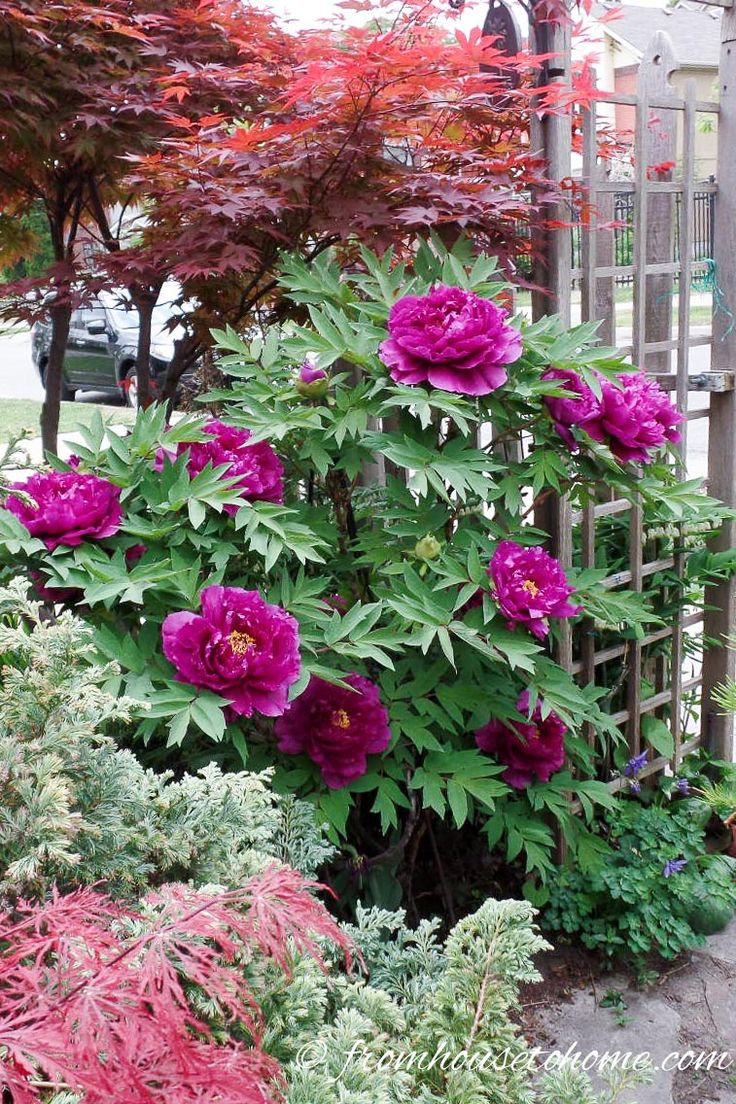 10 Bushes To Plant Under Trees | shade plants, shade bushes, bushes to plant in the shade, peonies
