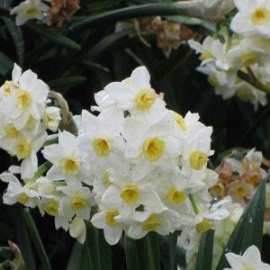 Grand Primo Narcissus bulbs #narcissus #droughttolerant