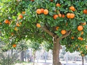 Mandarina, necesidades para el cultivo: clima, suelo, abono, riego, poda, cosecha | Arboles, Frutales | Flor de Planta
