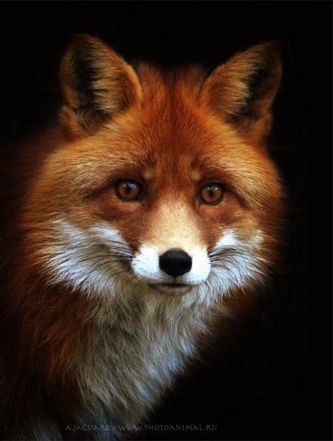 •♥• Животный мир •♥• Лиса (Fox) •♥•