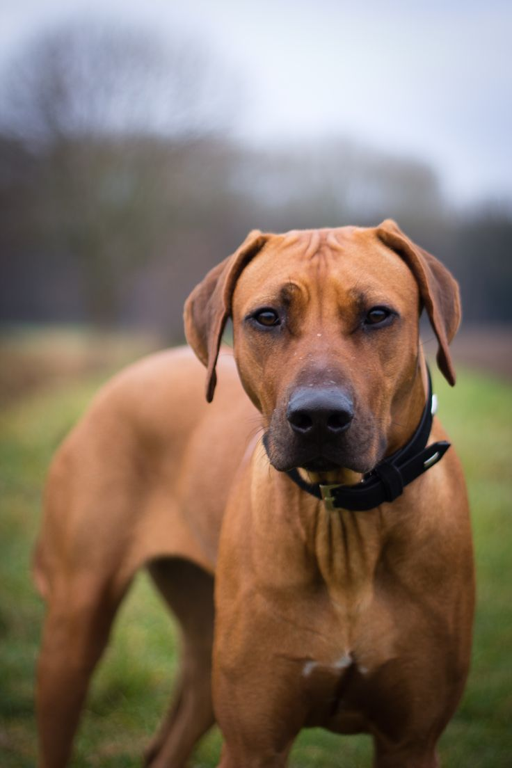 62 best rhodesian ridgeback images on pinterest doggies pets and rhodesian ridgeback originally trained to hunt lions but have a sweet temperament towards humans nvjuhfo Gallery