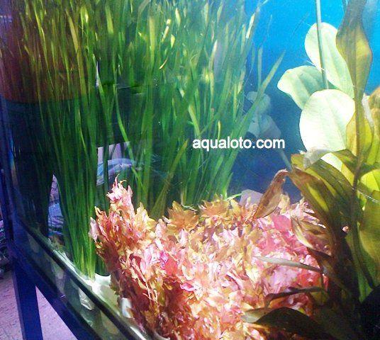 Plantas acuaticas para acuarios de agua dulce.#acuarios #plantas #aquascaping #paisajismo