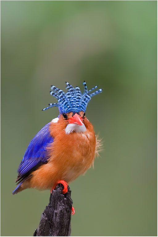 Malachite Kingfisher (Alcedo cristata), found in Africa south of the Sahara…