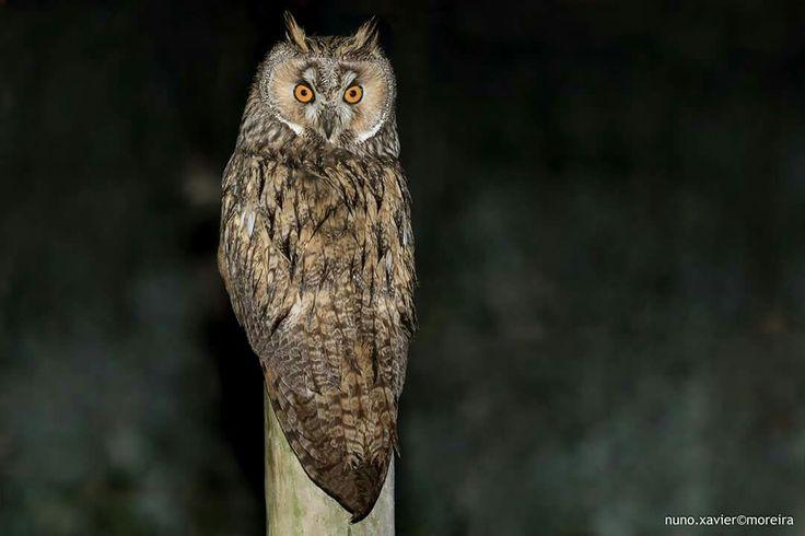 Bufo-pequeno, Long-eared Owl (Asio otus)  Vila Franca de Xira, Portugal - 2015.12.17