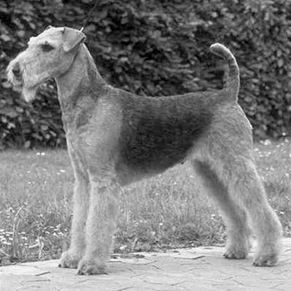 """John Jacob Astor's Airdale """"Kitty"""" who died on the Titanic"""
