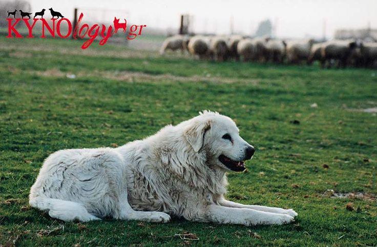white Greek Shepherd