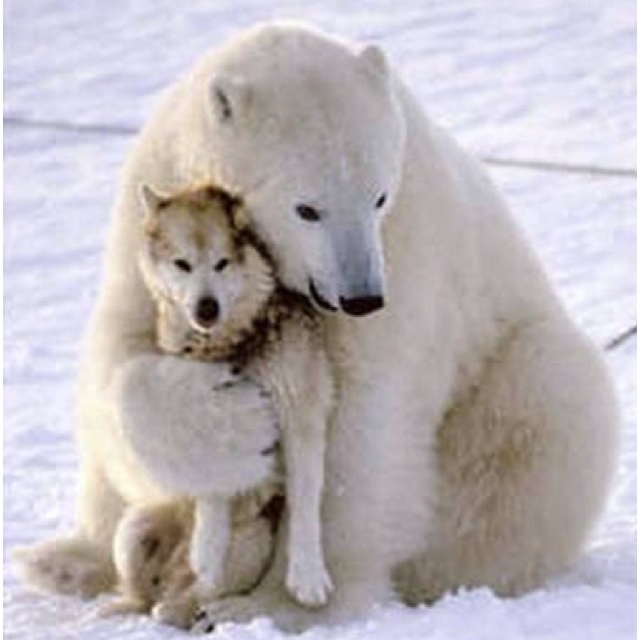 Polar Bears Eat Chained Up Dogs