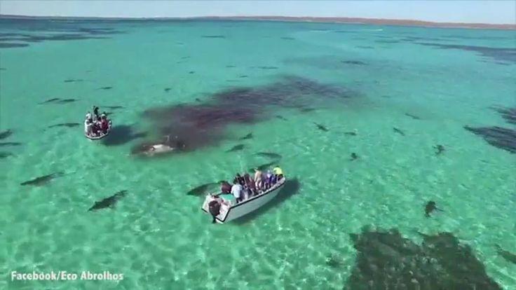 Nell'incredibile filmato della BBC, girato da un drone che sorvola le acque cristalline della Shark Bay, la prospettiva aerea ci permette di vedere come 70 squali tigre si avventano sui poveri resti di una balena. La balena, lunga 15 metri del peso di oltre 36 mila chilogrammi, potrebbe essere stata aggredita dal branco o morta ...