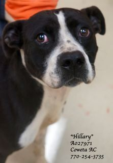 """EXTREMELY URGENT! LAST CHANCE!! American Pitbull Terrier Mix,Female, 3 yrs A027971 Shelter Name: """"Hillary""""ut she did wait patiently while we took her picture and video. Poor """"Hillary"""" has been at the shelter for 3 months without anyone showing any interest in her. Now, sadly, she may never realize her dream of having a home with a loving family because she is out of time. She is in danger of being EUTHANIZED and she desperately needs a safe and loving home OR a receiving rescue ASAP!"""