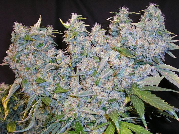 Bubblegum #weed