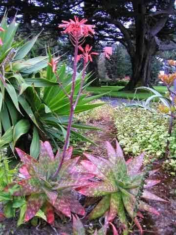Aloe Maculata - Soap Aloe - Indigenous South African Succulent - 10 Se | Seeds for Africa