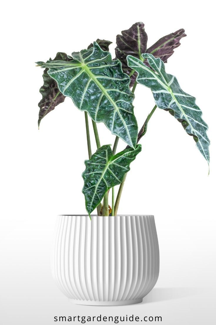 How To Care For Alocasia Amazonica With Pictures Smart Garden Guide Plants Indoor Plants Alocasia Plant