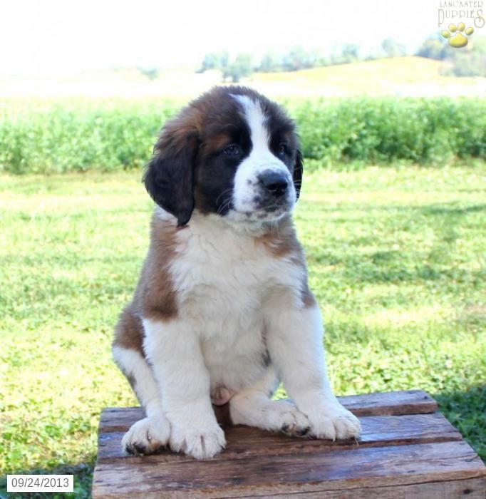 19 best Saint Bernards images on Pinterest | Saint bernards, St ...