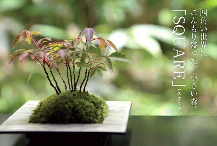 ちょこぼん,ミニ盆栽,盆栽,おしゃれ,インテリア,雑貨.観葉植物,通販,販売,和,植物,SQUARE,スクエア,手のりサイズ,苔,かわいい