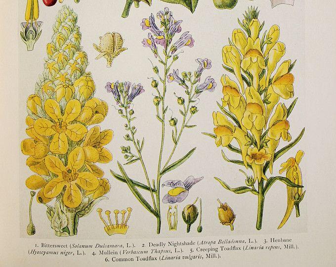 Impression de botanique antique : Des fleurs sauvages britannique du Wasteland - Bittersweet, belladone, jusquiame, Molène, linaire
