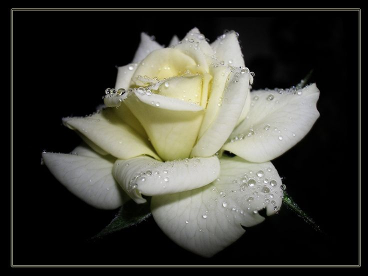 белая роза на черном фоне - Поиск в Google