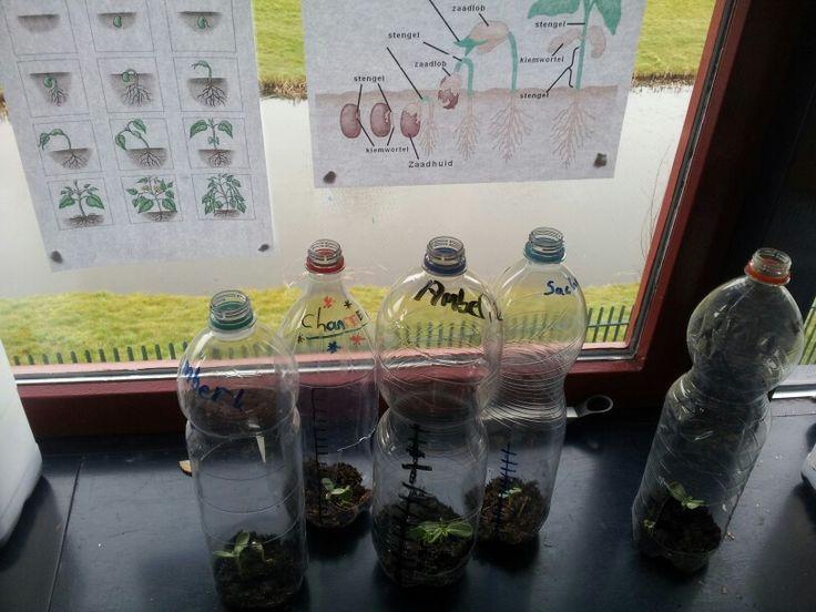 Miniplantenkas met zonnebloemzaad. Aan de hand van de meetlijn in centimeters wordt in een grafiek de groeicurve bijgehouden.