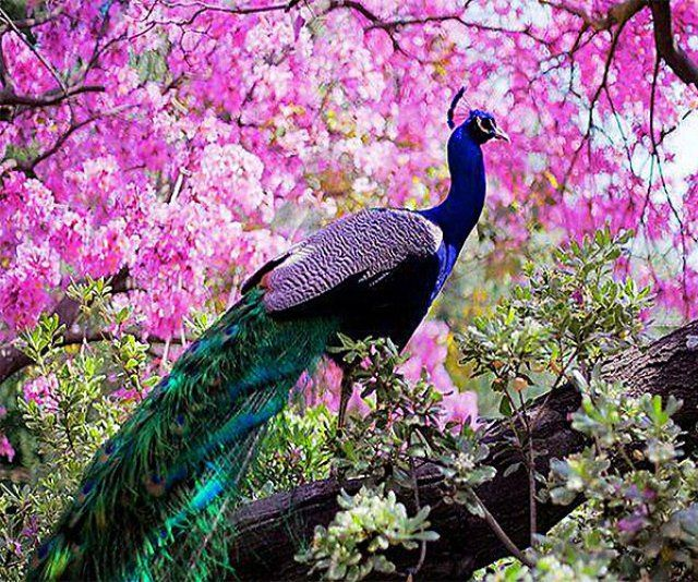 17 Best Ideas About Pavo Real On Pinterest Rare Animals