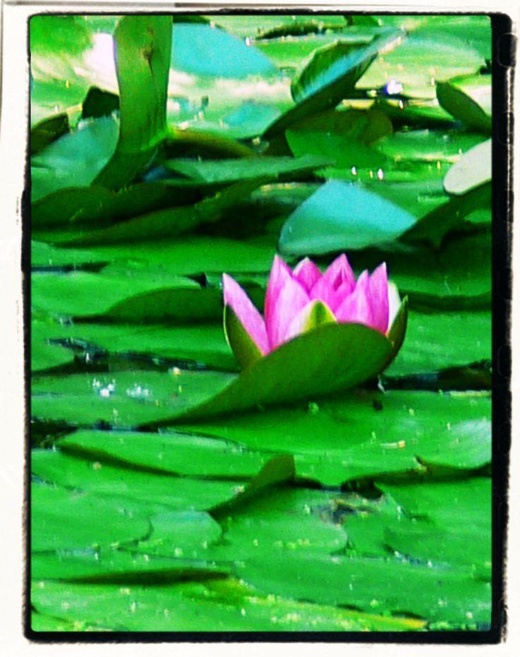 Water lily photo by Chantale Rivard available on  https://www.etsy.com/fr/shop/ChantaleRivardArt?ref=hdr_shop_menu