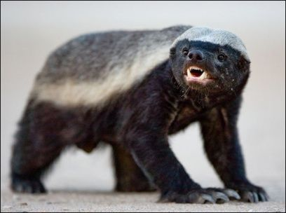 Bad ass Honey Badger