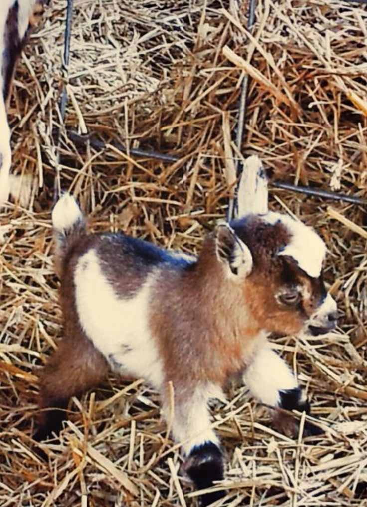 how to raise sheep and goats together