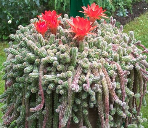 Image result for Echinopsis succulents pic