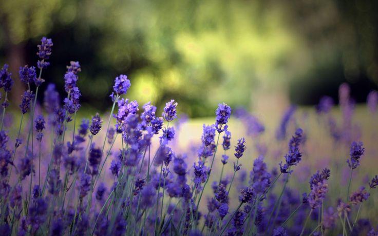 Обои растения, фон, природа, цветение, цветы, лето, поляна на рабочий стол