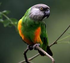 senegal parrot - Google Search