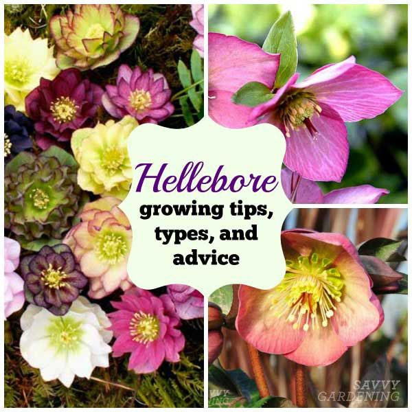 Growing Hellebores Those Lovely Harbingers Of Spring: 15 Best Plants I Love And Covet Images On Pinterest