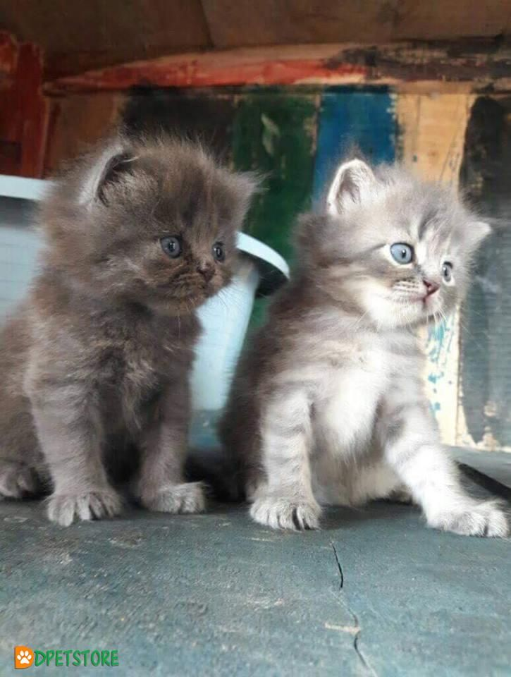 Very Cute Active Kittens Available On Resonable Rate Buy A Cat