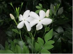Jasminum grandiflorum - čínský čajový jasmín, královský jasmín, katalánský jasmín Zahradnictví Krulichovi - zahradnictví, květinářství, trvalky, skalničky, bylinky a koření