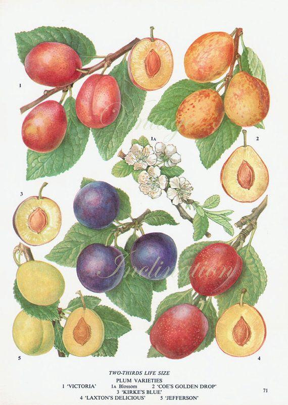 Vintage botanischen Drucken Pflaumen Frucht blüht Pflaume Küche 60er Jahre original Dekor Wand Kunstdruck Exlibris
