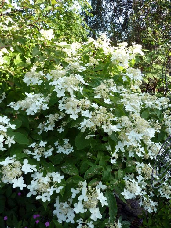 hydrangea paniculata 39 praecox 39 m nskenshortensia kallas ven tidig syrenhortensia den blir. Black Bedroom Furniture Sets. Home Design Ideas