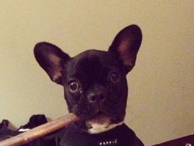 French Bulldog Pictures and Breed Information | petMD