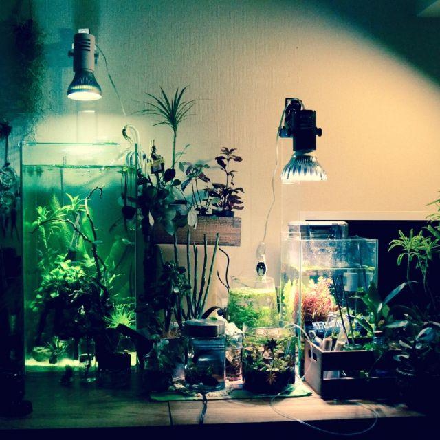 furukataさんの、エアプランツ,水草,熱帯魚,観葉植物,ボトリウム,水槽,アクアリウム,机,のお部屋写真