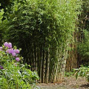 Fargesia robusta PROMO 50/80 cm en pot de 3 litres