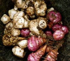 Jerusalem Artichokes  - Starch free  - Feeds probiotics  - Helps calcium absorption  - Low glycemic effect  - Good source of potassium and other      minerals and electrolytes  - Fiber, antioxidants and B vitamins